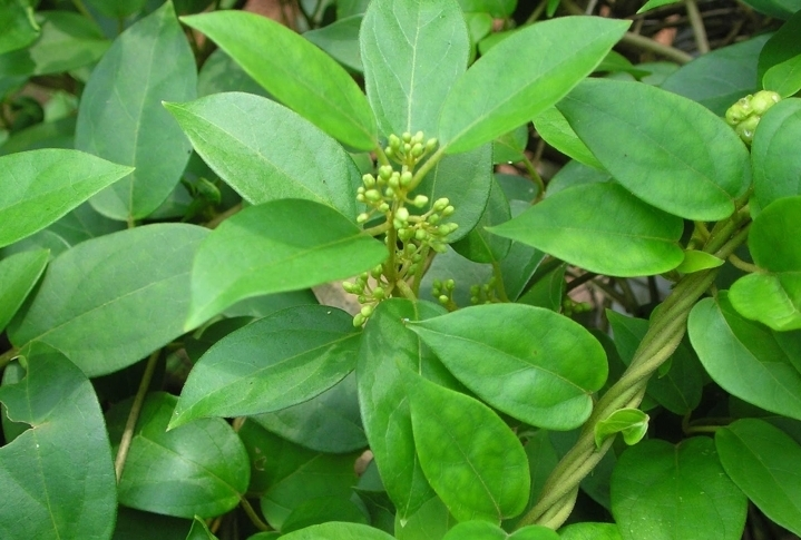 Gymnema Sylvestre as diabetes cure